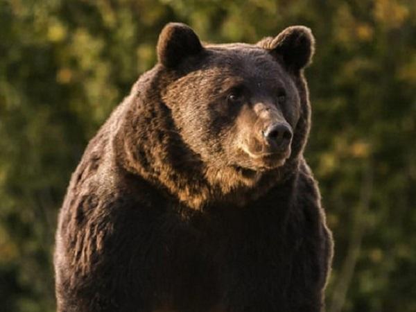 Принца Лихтенштейна подозревают в убийстве самого большого в Европе медведя