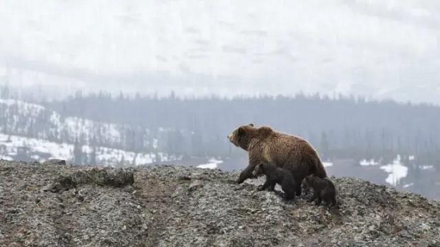 На Аляске спасли мужчину, который неделю отбивался от медведя гризли