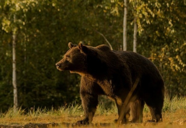 В Сибири медведь убил туриста и разогнал ещё троих
