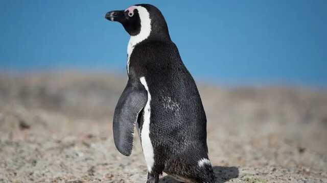 На юге Африки пчелы насмерть закусали более полусотни очень редких пингвинов